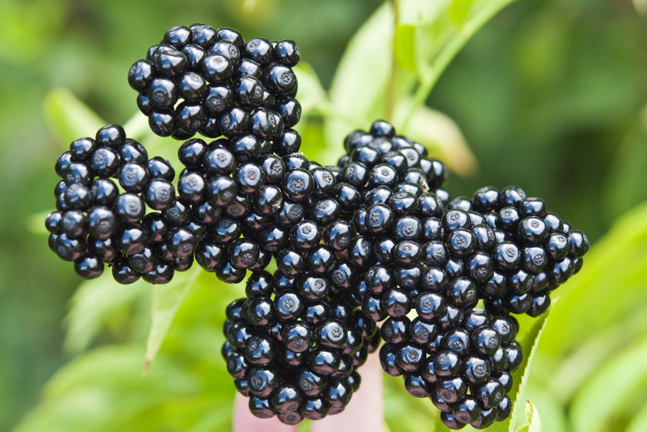 Elderberry Provides Various Health Related Benefits – Know What Are They?